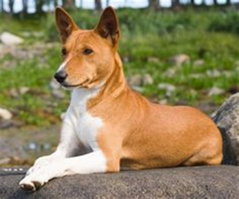 Mid Size Dogs That Don T Shed by Dogs That Don T Shed On Sheds Breeds