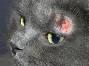 la dermatite auto immune du chat