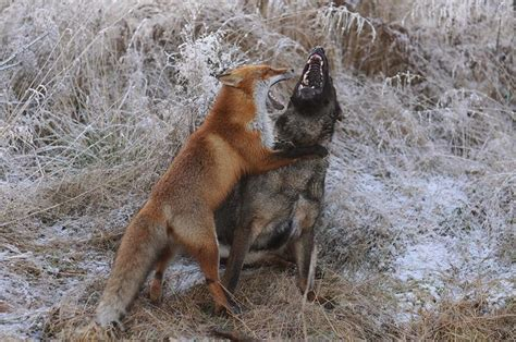 are foxes dogs and fox are best friends 10 pics amazing creatures