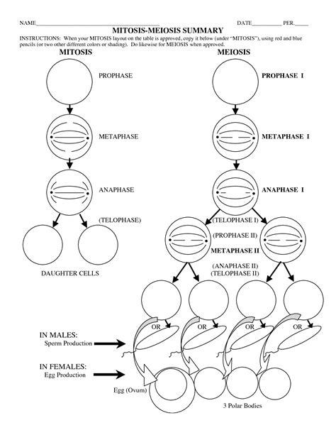 meiosis coloring worksheet 15 best images of phases of meiosis worksheet meiosis