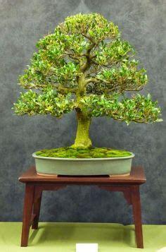 libro bonsai from native trees chinese elm bonsai bonsai bonsais bonsai y plantas
