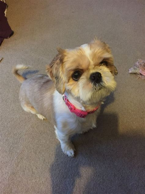 3 year shih tzu for sale three year shih tzu sheffield south