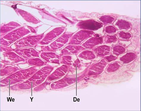 parasagittal section parasagittal section in the ovary of a mature female c