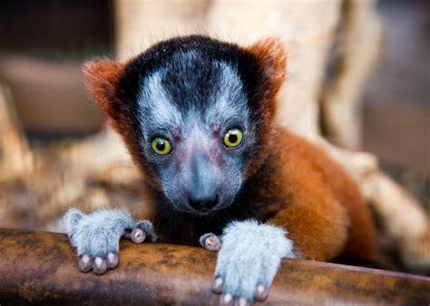 baby lemur tpa quick take baby lemurs born at busch gardens