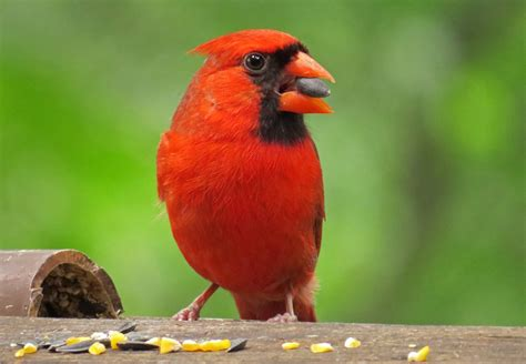 top 28 what do cardinals eat northern cardinal bird