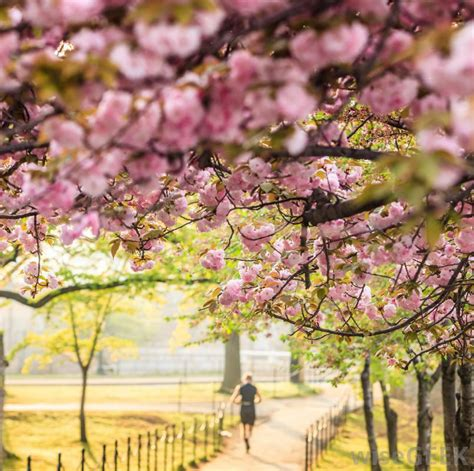 what are the different types of cherry trees with pictures