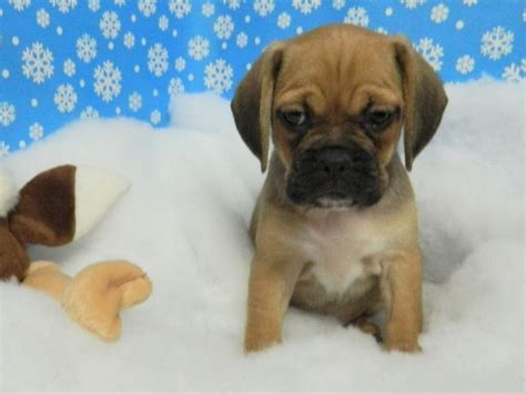 puggle puppies for adoption 1000 ideas about puggles for sale on puggle puppies for sale puggle