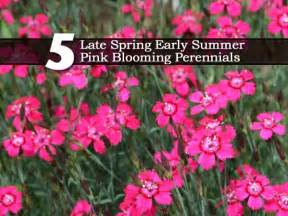 late blooming perennials 5 late spring early summer pink blooming perennials