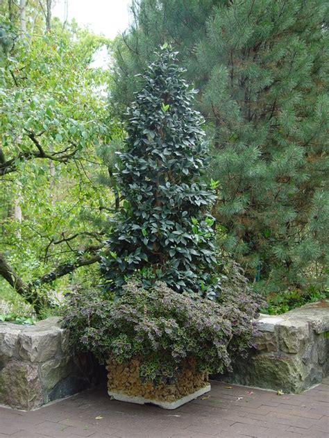 ligustrum topiary trees waxleaf privet topiary topiary topiaries
