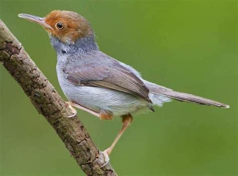 Pakan Lolohan Untuk Ciblek tujuh hari melatih ciblek makan voer tips burung terbaru