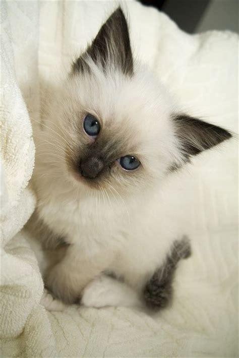 google imagenes de gatos imagenes de gatos siameses bebes tiernos buscar con
