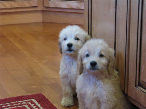 goldendoodle breeders indiana goldendoodle breeders in indiana breeds picture