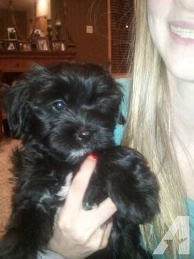 shih tzu yorkie poo mix adorable shorkie poo shih tzu yorkie poo new family ready for sale in