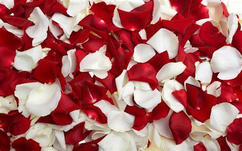 wallpaper flower petal flowers rose petals wallpapers hd pictures one hd