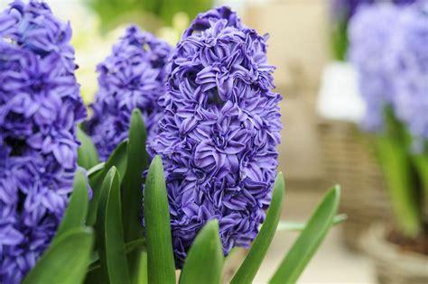 hyacinthus orientalis gardenersworldcom