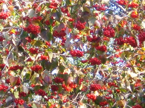 28 best tree with berries in fall tree with orange berries in fall myideasbedroom com fall