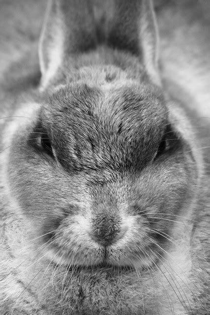 Angry rabbit   Red Junasun   Flickr