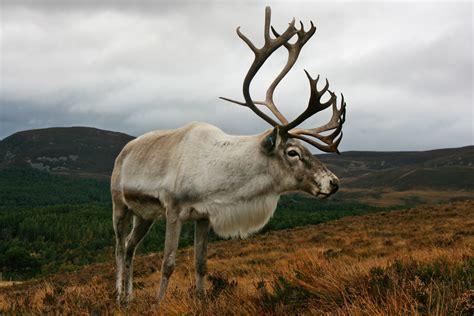 Deer Vs reindeer roe or how to recognise your deer
