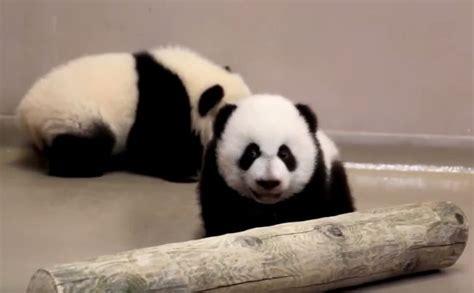 Zebe Piyama Panda Edition Size 12 panda monium calgary zoo confirms baby pandas born in toronto will be tagging a