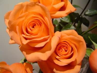 meaning of roses by color