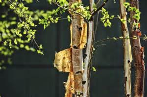 peeling tree bark why is bark peeling my tree