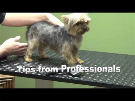 how to groom my yorkie how to groom a terrier quot yorkie quot puppy cut do it yourself pet grooming