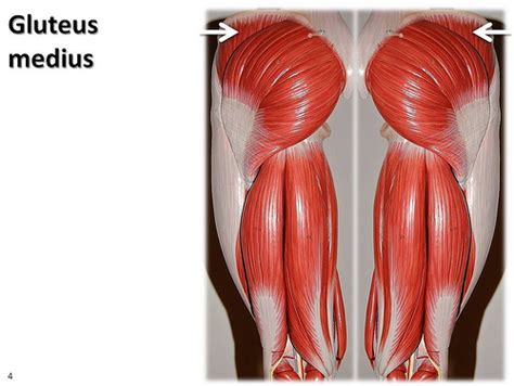 glute muscles diagram gluteus medius muscles of the lower extremity anatomy vi