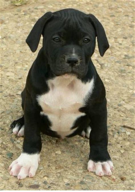 american bulldog puppies 25 best ideas about american bulldog puppies on american bulldogs american bull