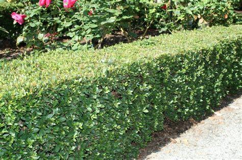 syzygium common  bush christmas mm cone
