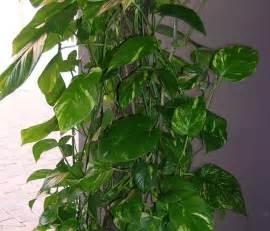 australian araceae