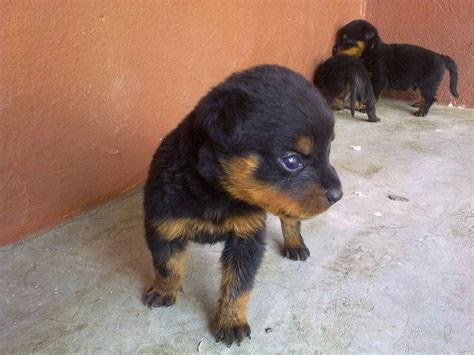 rottweiler adoption rottweiler puppies for adoption breeds picture