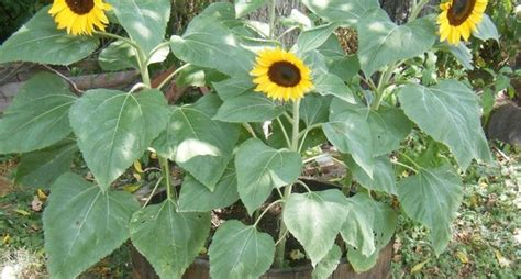 significato fiori girasole significato girasole linguaggio dei fiori fiori di