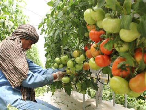 10,000 tonnes more vegetables grown at Abu Dhabi farms