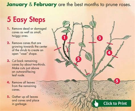 best 25 pruning roses ideas on pinterest prune ideas rose bush and growing roses