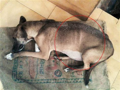 puppy stomach bloated after sundari thane spca thane spca