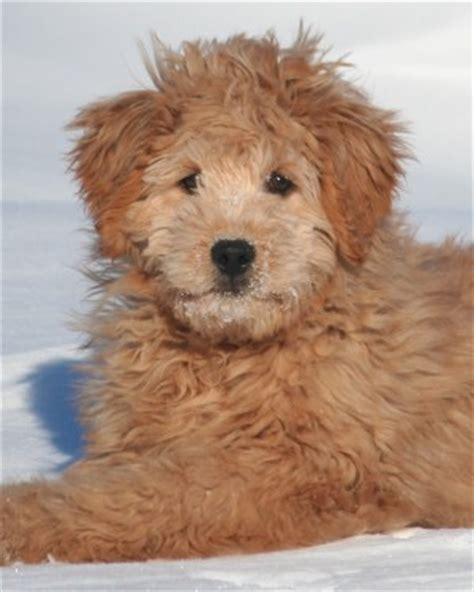 mini doodle iowa pin goldendoodle mini iowa on
