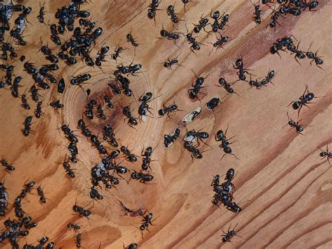 carpenter ants in 2nd floor bathroom 7 tips for controlling carpenter ants without chemicals