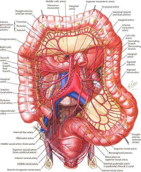 organ anatomy netter on anatomy