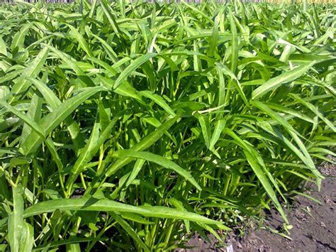 berkebun kangkung i cara menguntungkan budidaya kangkung untuk pemula
