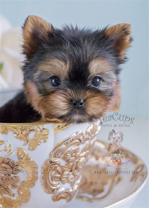 yorkie puppies for sale in broward county adorable yorkie puppy for sale at teacups puppies and boutique breeds picture