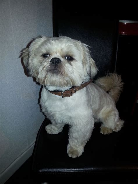 2 year shih tzu 2 year shih tzu boy for stud doncaster south pets4homes