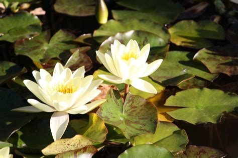 water lily plants how to grow a water lily