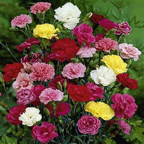 50 carnation hardy perennial seeds very hardy border plants 50 seeds ebay