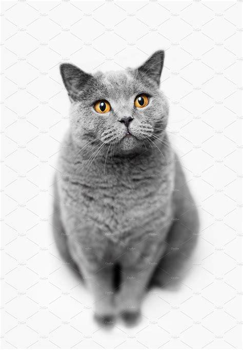 Fluffy grey cat sitting on white bac   High-Quality Animal