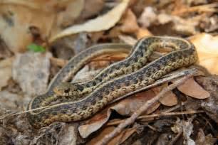 Garter Snake Snakes Images Garter Snake Hd Wallpaper And Background