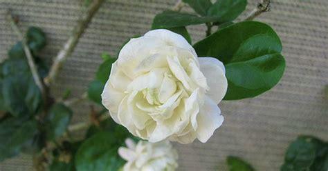 Madu Bihophar Summer Flower jasminum sambac grand duke of tuscany plants duke and tuscany