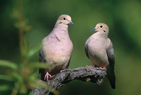 mourning dove animals grit magazine
