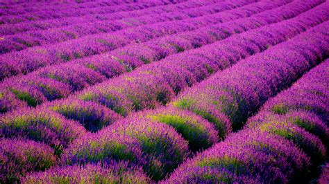 tapete lavendel lavender field wallpaper wallpaper high definition