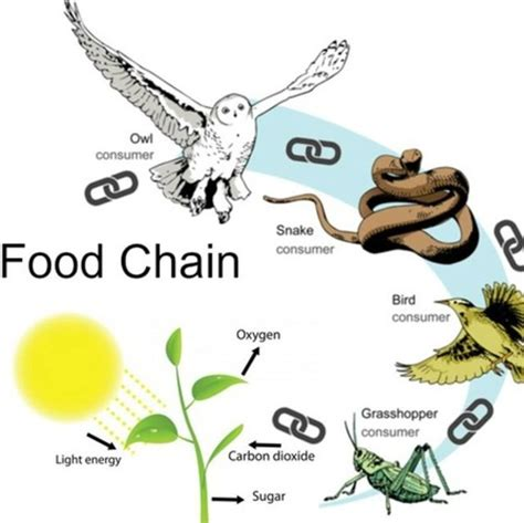 cadenas synonyme list of synonyms and antonyms of the word organism food chain