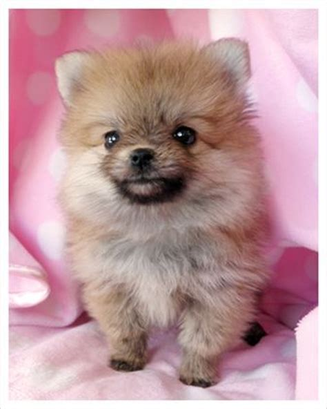 teacup pomeranian how big do they get 25 b 228 sta husdjur id 233 erna p 229 djur hundar och s 246 ta valpar